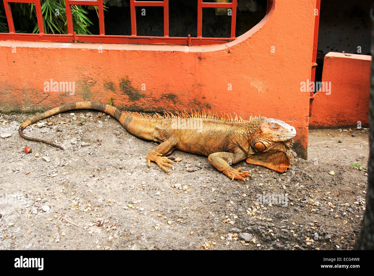 Un geen iguana o comune (iguana Iguana iguana) sul suolo. Fotografato il Vulcano Arenal, Costa Rica Immagini Stock