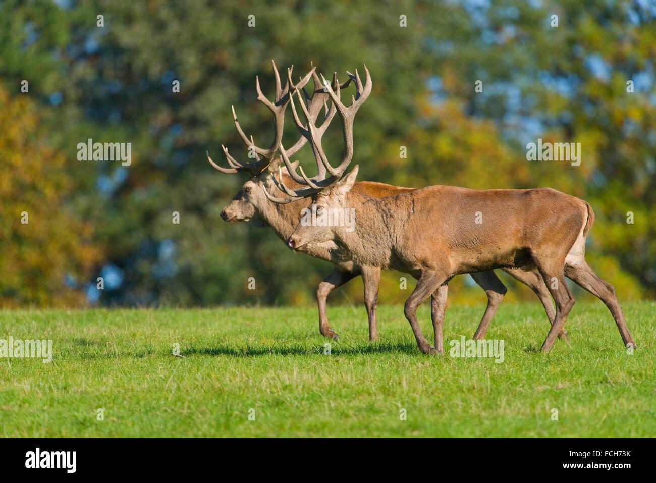 Il cervo (Cervus elaphus), camminare al fianco di ogni altro comportamento di visualizzazione dei rivali nel solco, Foto Stock