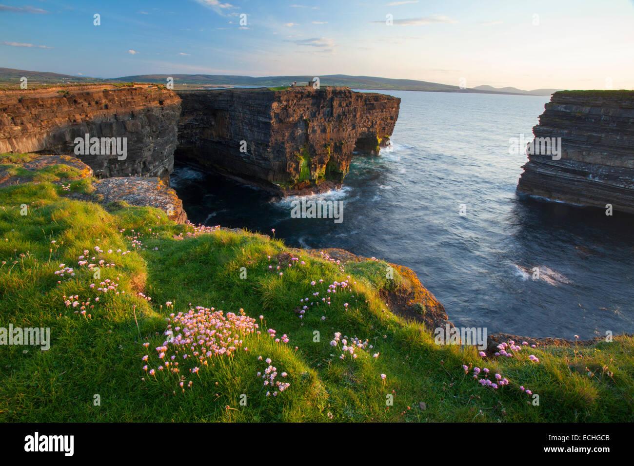 La parsimonia che cresce su una scogliera a Downpatrick Head, County Mayo, Irlanda. Immagini Stock