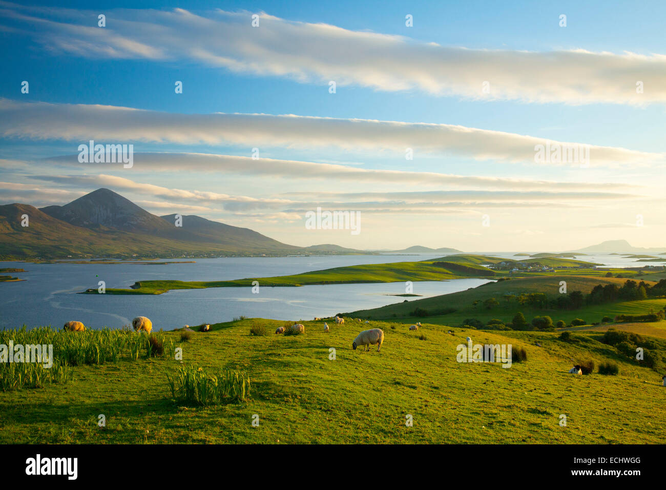 Pecore al pascolo sotto Croagh Patrick sulle rive della Baia di Clew, County Mayo, Irlanda. Foto Stock