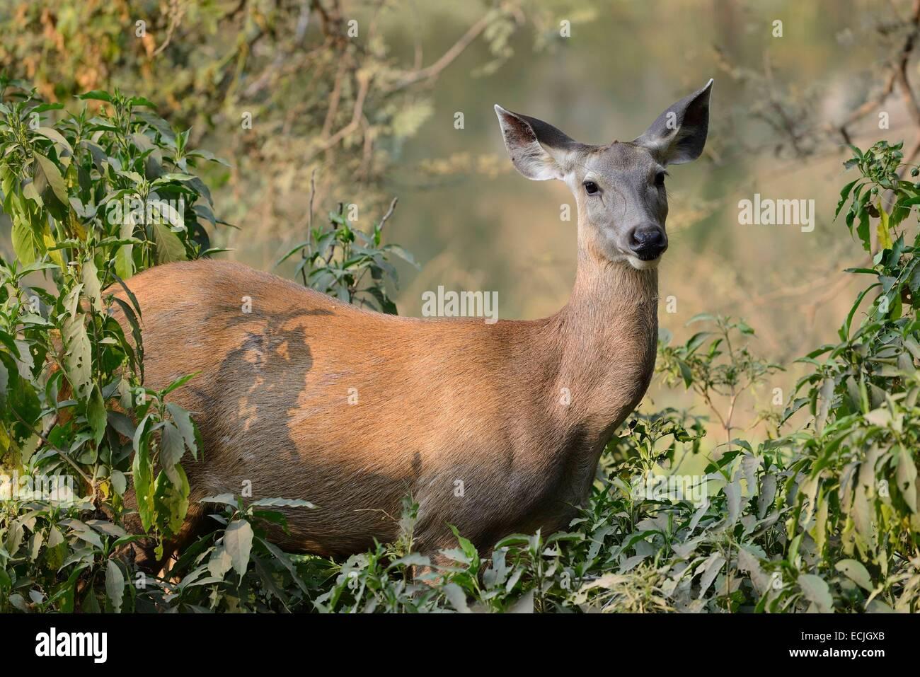 India Rajasthan, il Parco nazionale di Ranthambore, Femmina Nilgai antelope Immagini Stock