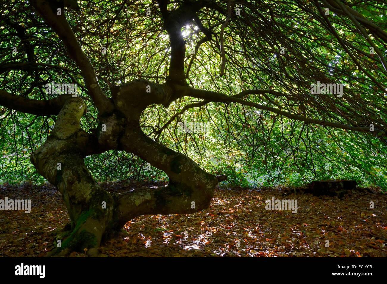 Francia, Marne, Parc naturel de la Montagne de Reims (parco naturale delle Montagne de Reims), Verzy, Les faux de Immagini Stock