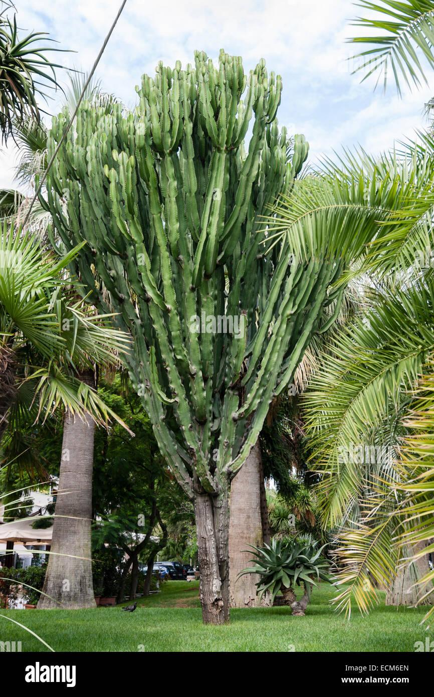 Rami succulenti candelabri tree, Euphorbia ingens, in un giardino di Sorrento Immagini Stock