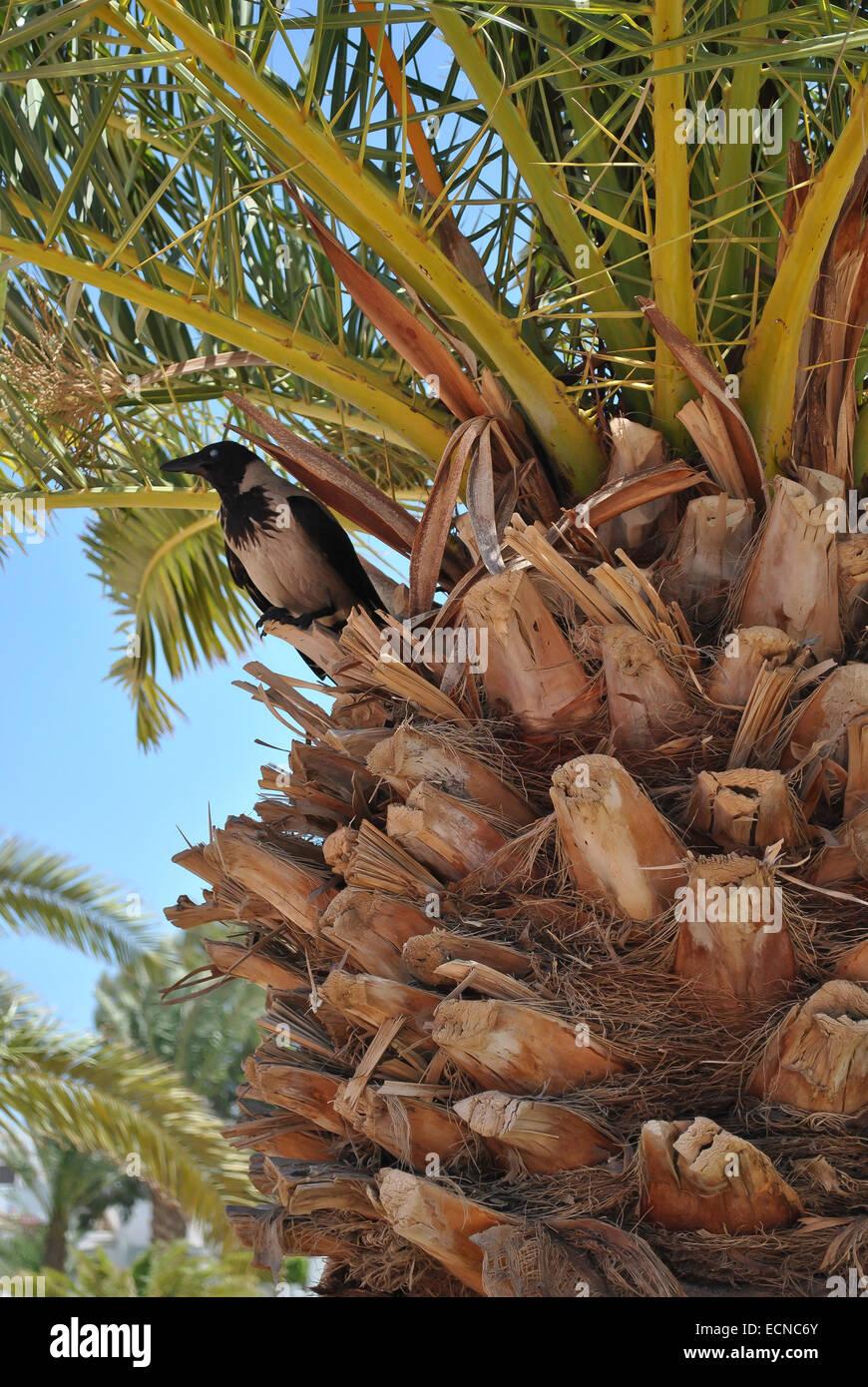 Un corvo sulla parte superiore del palm tree Immagini Stock