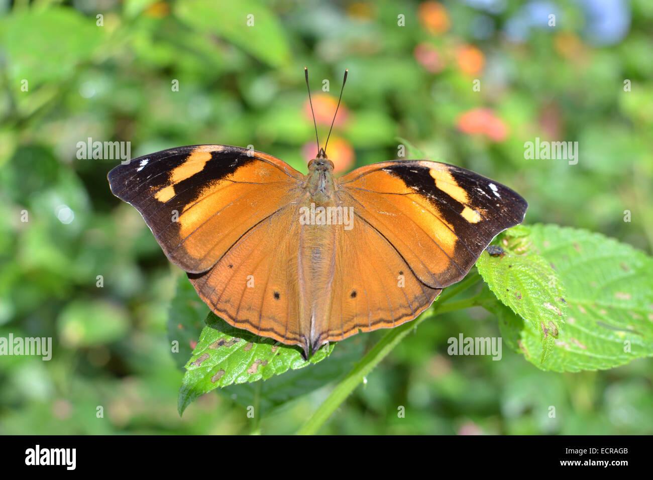 Brown wild butterfly diffusione è ali su di un impianto Immagini Stock