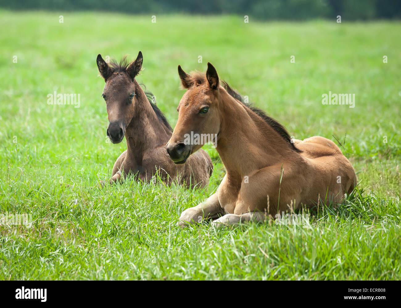 Quarter Horse puledri giacente in erba Immagini Stock