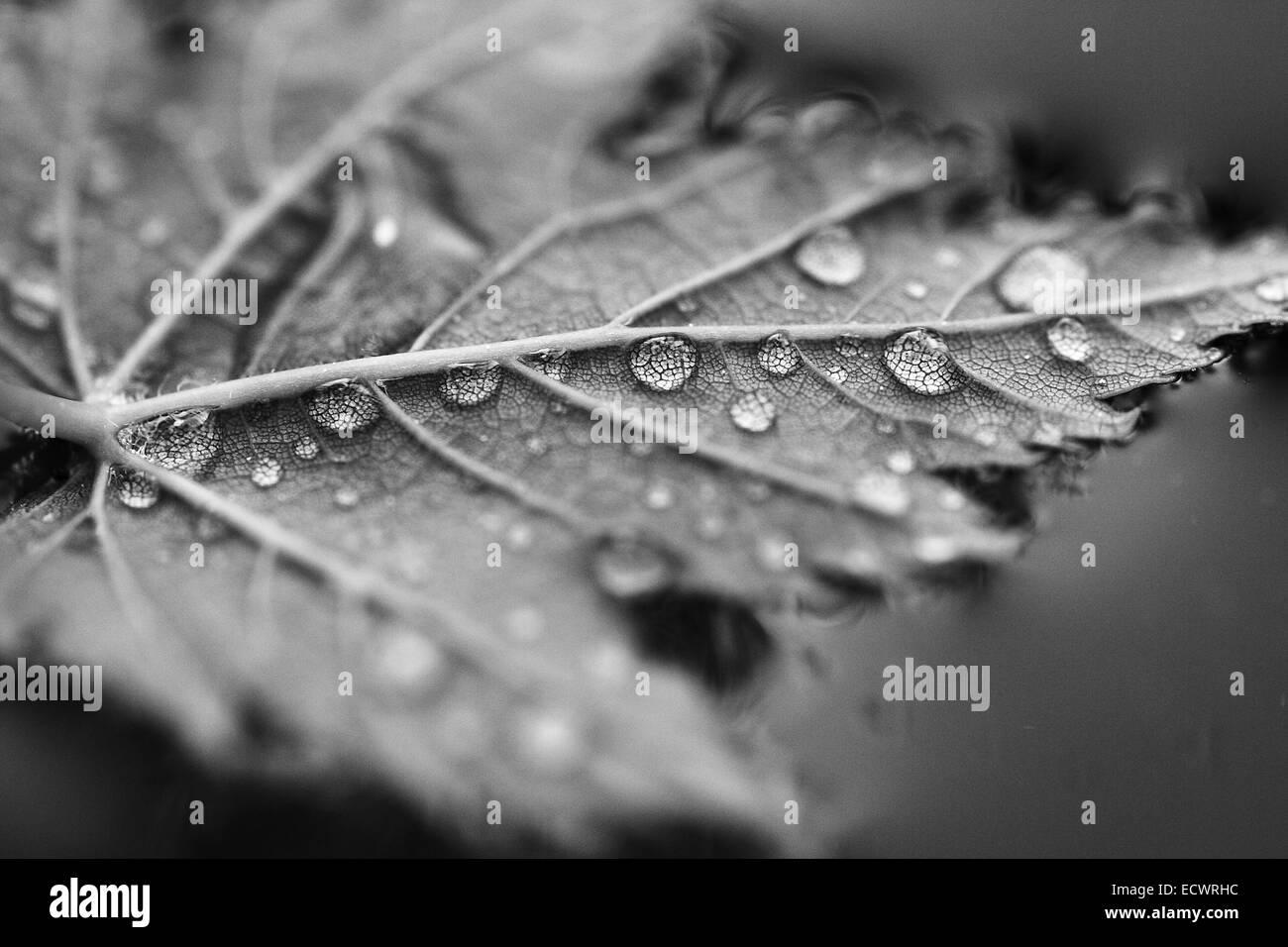 Foglia di acero con gocce d'acqua fluttuante sull'acqua Foto Stock