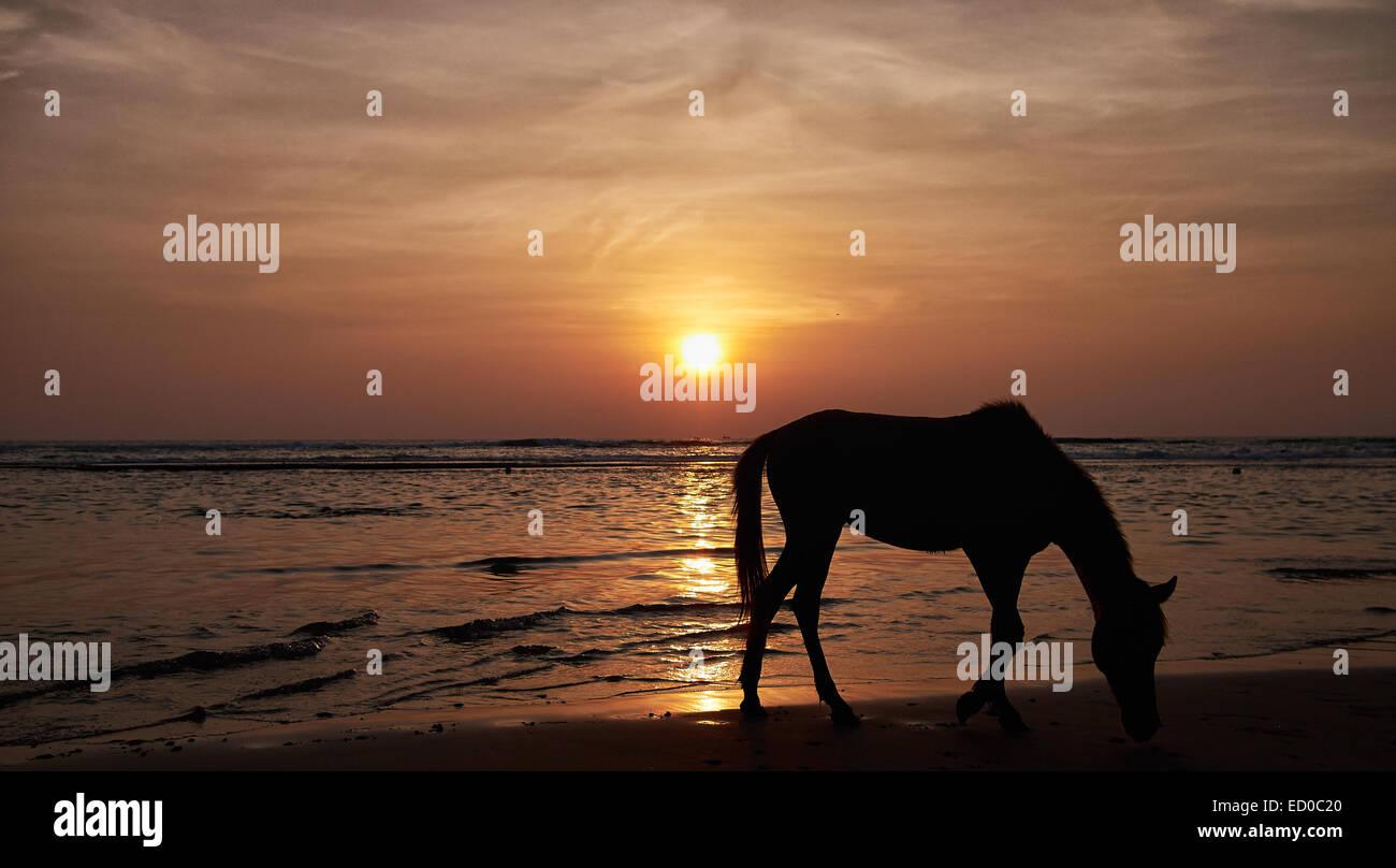 Sihouette di cavallo sulla spiaggia al tramonto, Sri Lanka, Beruwala Immagini Stock