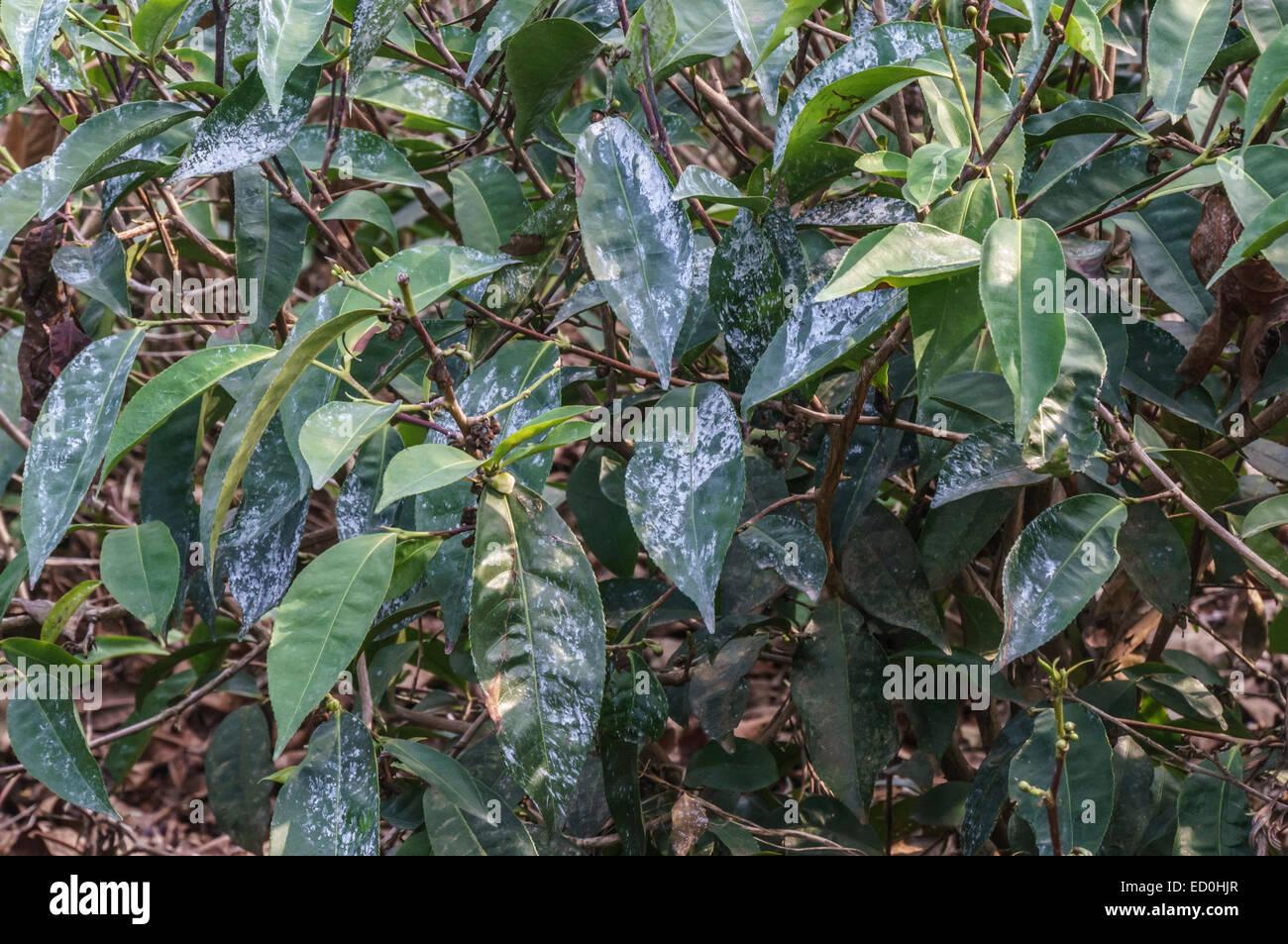 Il Kerala, India - Connemara la piantagione di tè e di fabbrica. Piante di tè spruzzata per impedire il Immagini Stock