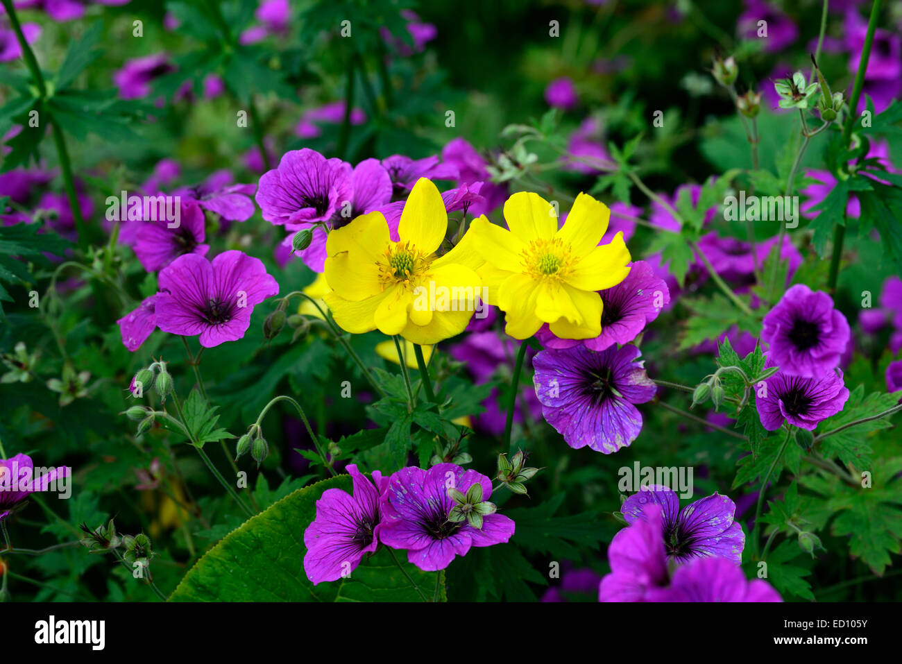 Piante Perenni Da Fiore meconopsis cambrica geranium psilostemon viola giallo fiore