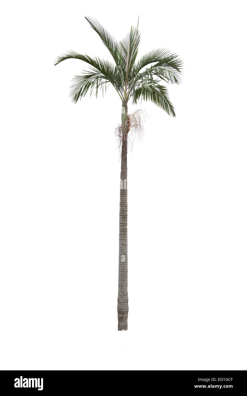 Palm tree isolati su sfondo bianco Immagini Stock