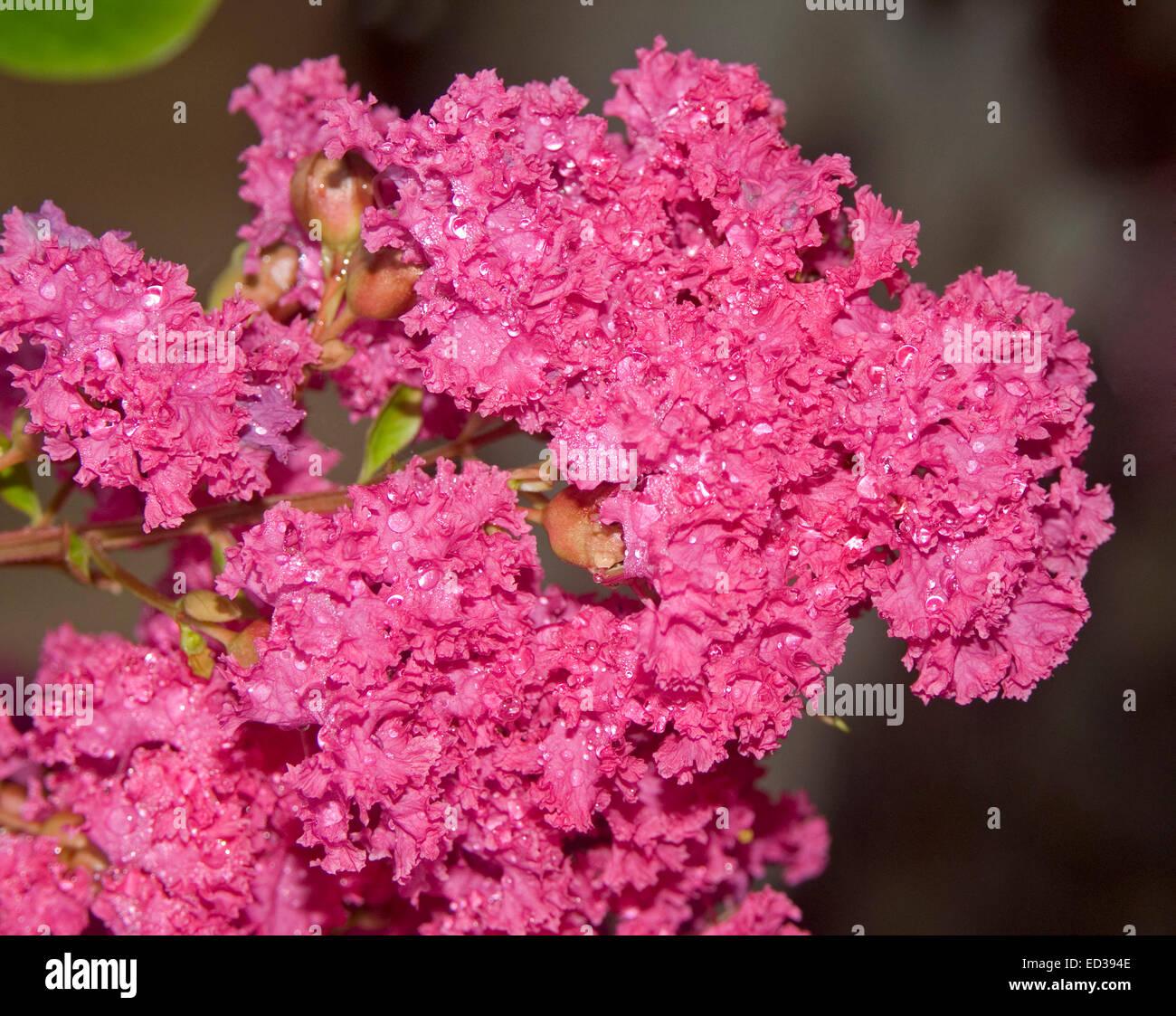 Close Up Di Grande Cluster Di Rosso Vivo Fiori Di Colore Rosa Di