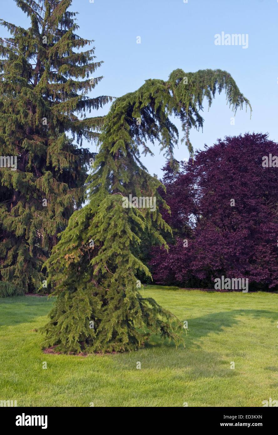 Il cedro del Libano Tree - Cedrus libani 'Beacon Hill' Immagini Stock