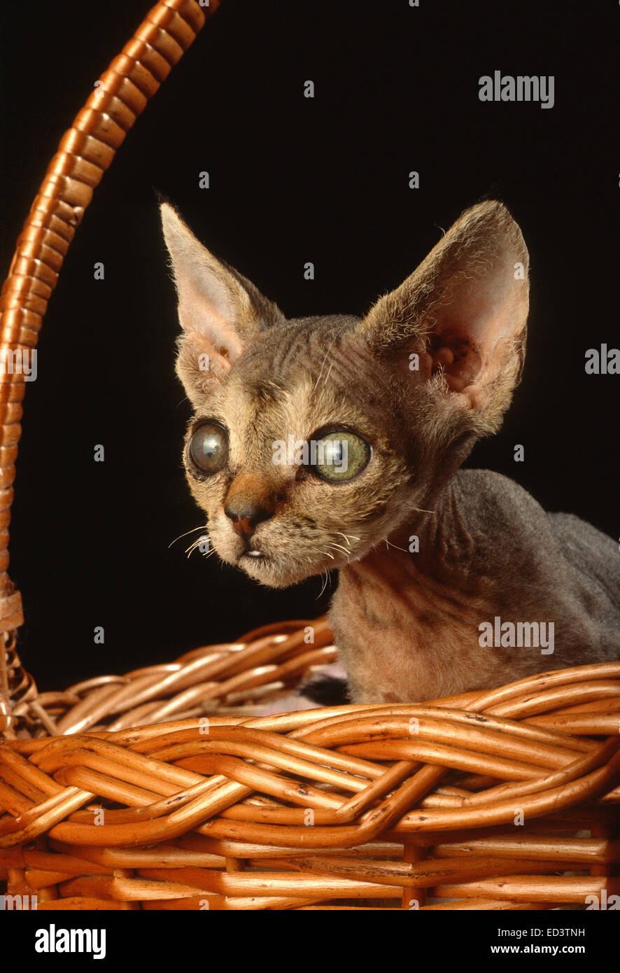 Gatto del Devon Rex Immagini Stock
