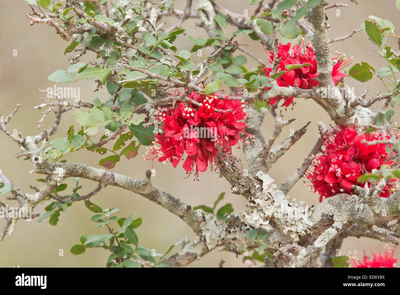 Ubriaco Parrot Tree, piangendo boerbean, Schotia brachypetala, Kruger National Park, Sud Africa Immagini Stock