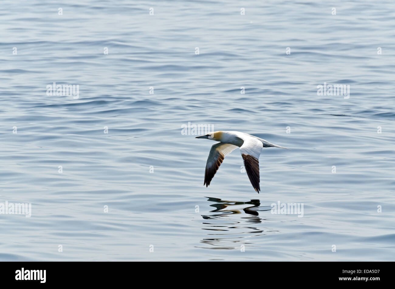 Northern gannet in volo sopra l'oceano Foto Stock