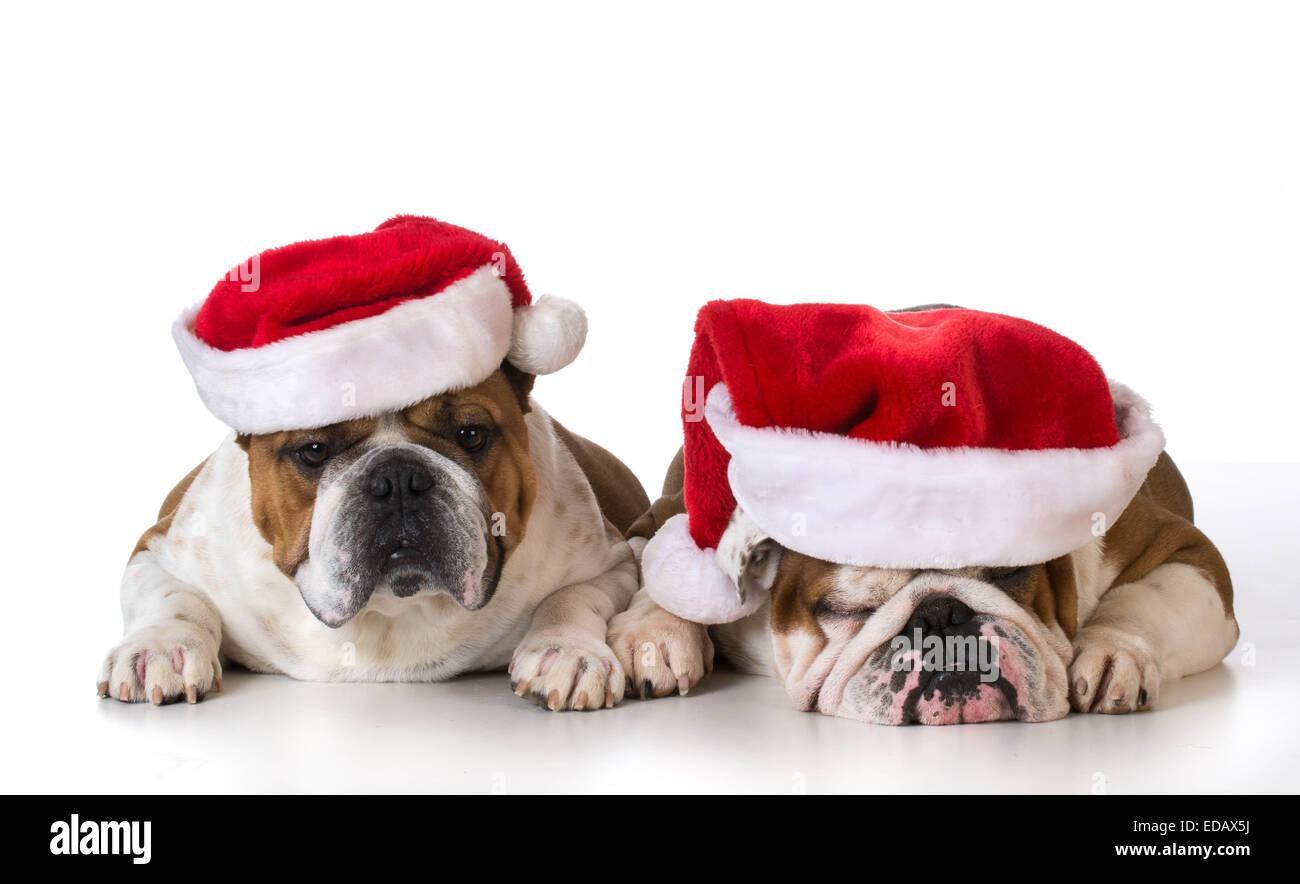 I cani di natale - due Bulldog inglese indossando cappelli di Babbo Natale su  sfondo bianco 9052de61e61d
