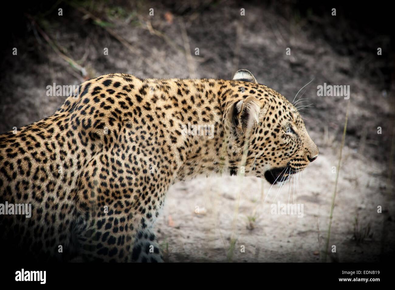 Leopard silent hunter in africa nera Immagini Stock