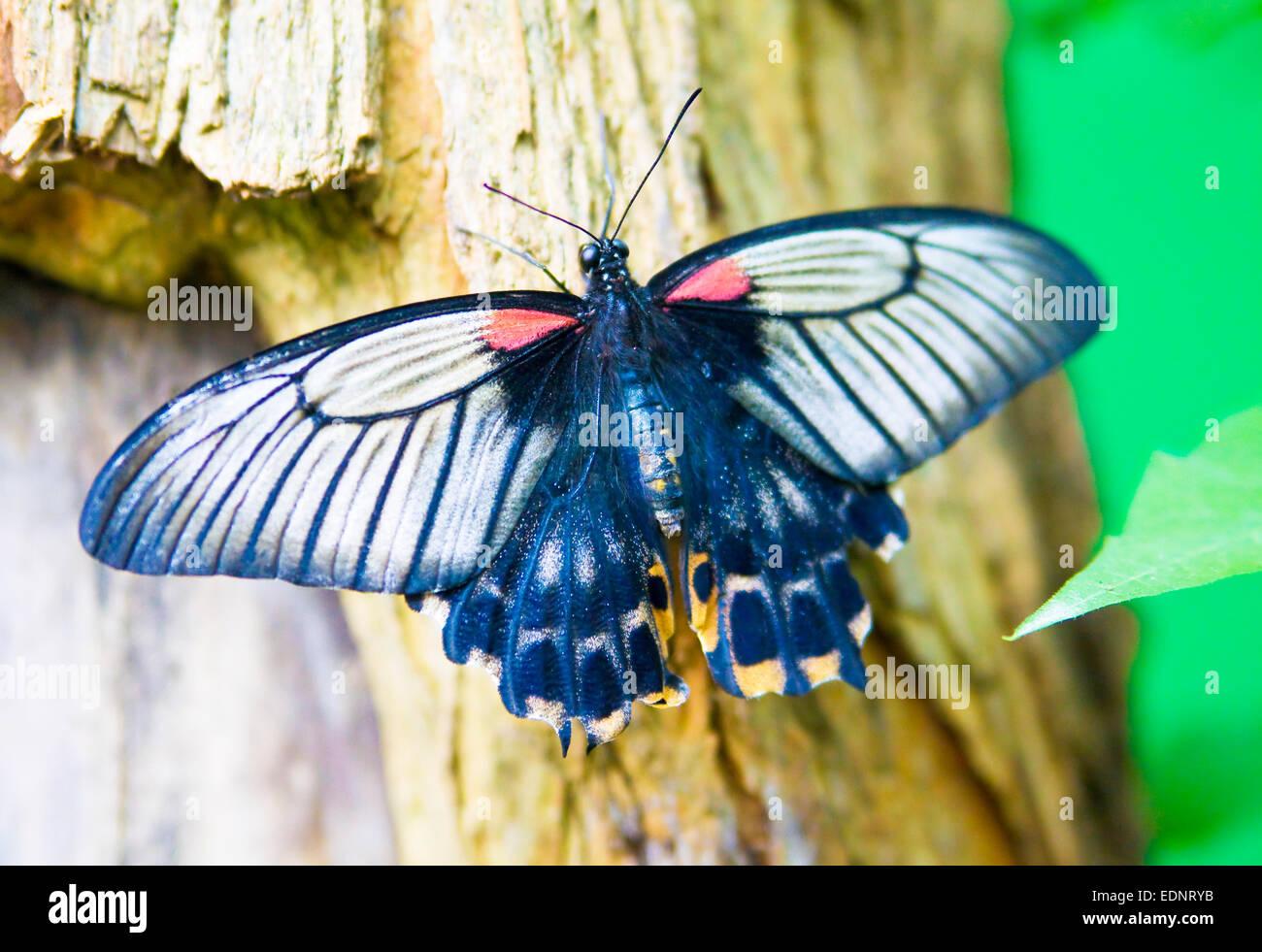 Farfalle tropicali seduto su albero, sorta grande mormone (nome latino Papilio memnon) Immagini Stock