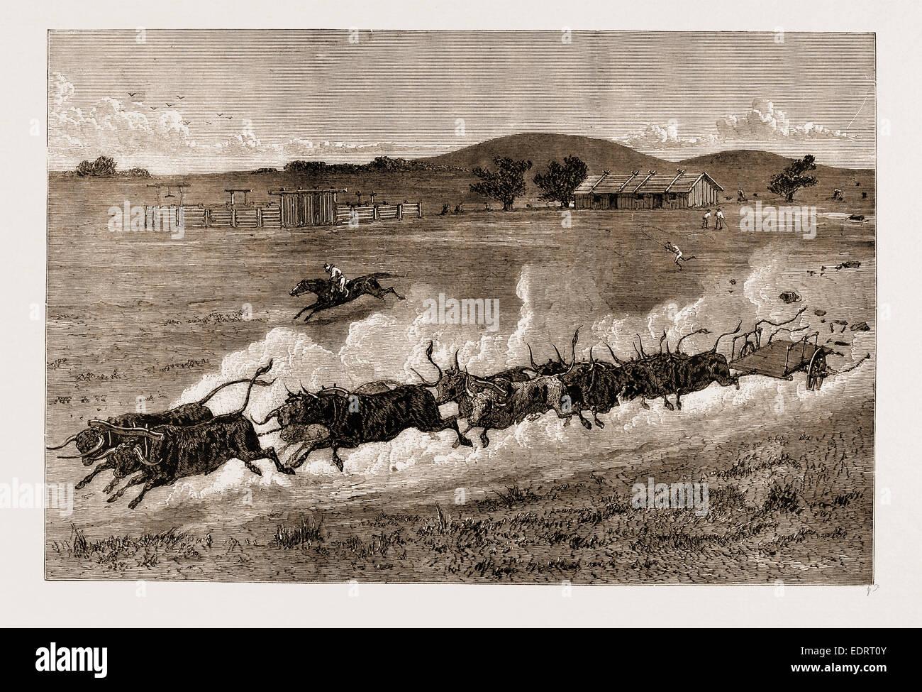 Un giovenco di RUNAWAY TEAM, Nuovo Galles del Sud, Australia, 1883 Immagini Stock
