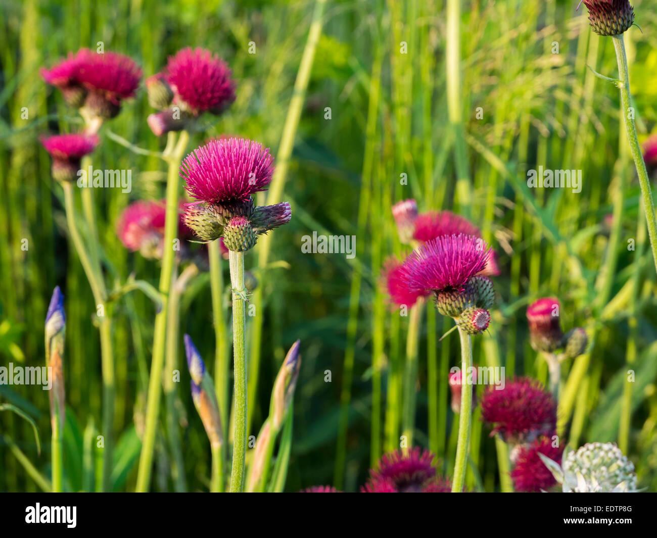 CIRSIUM RIVULARE giardino confine fiore rosso porpora Foto Stock