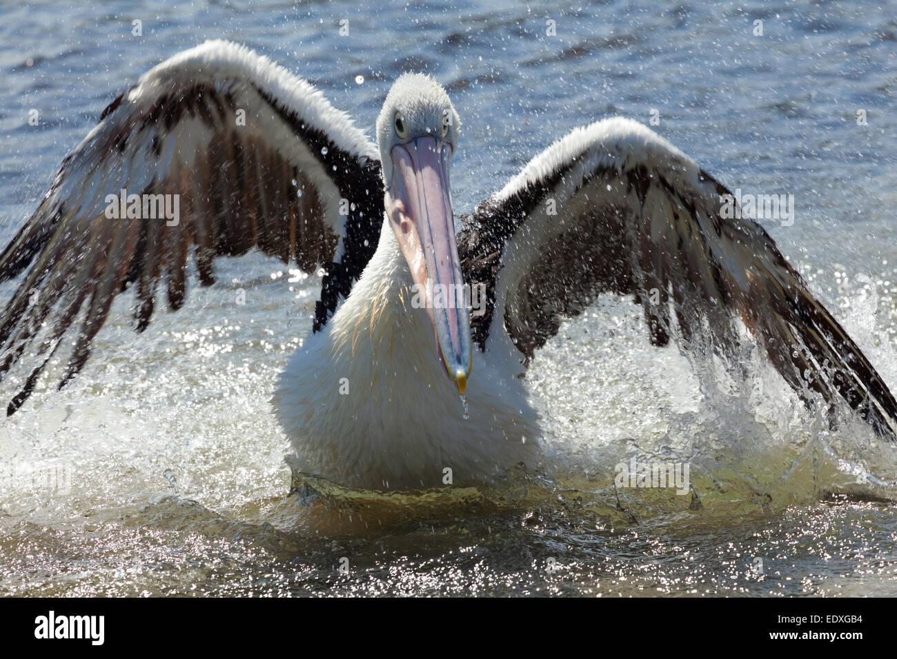 Pelican nel lago di Wallis, Nuovo Galles del Sud, Australia Immagini Stock