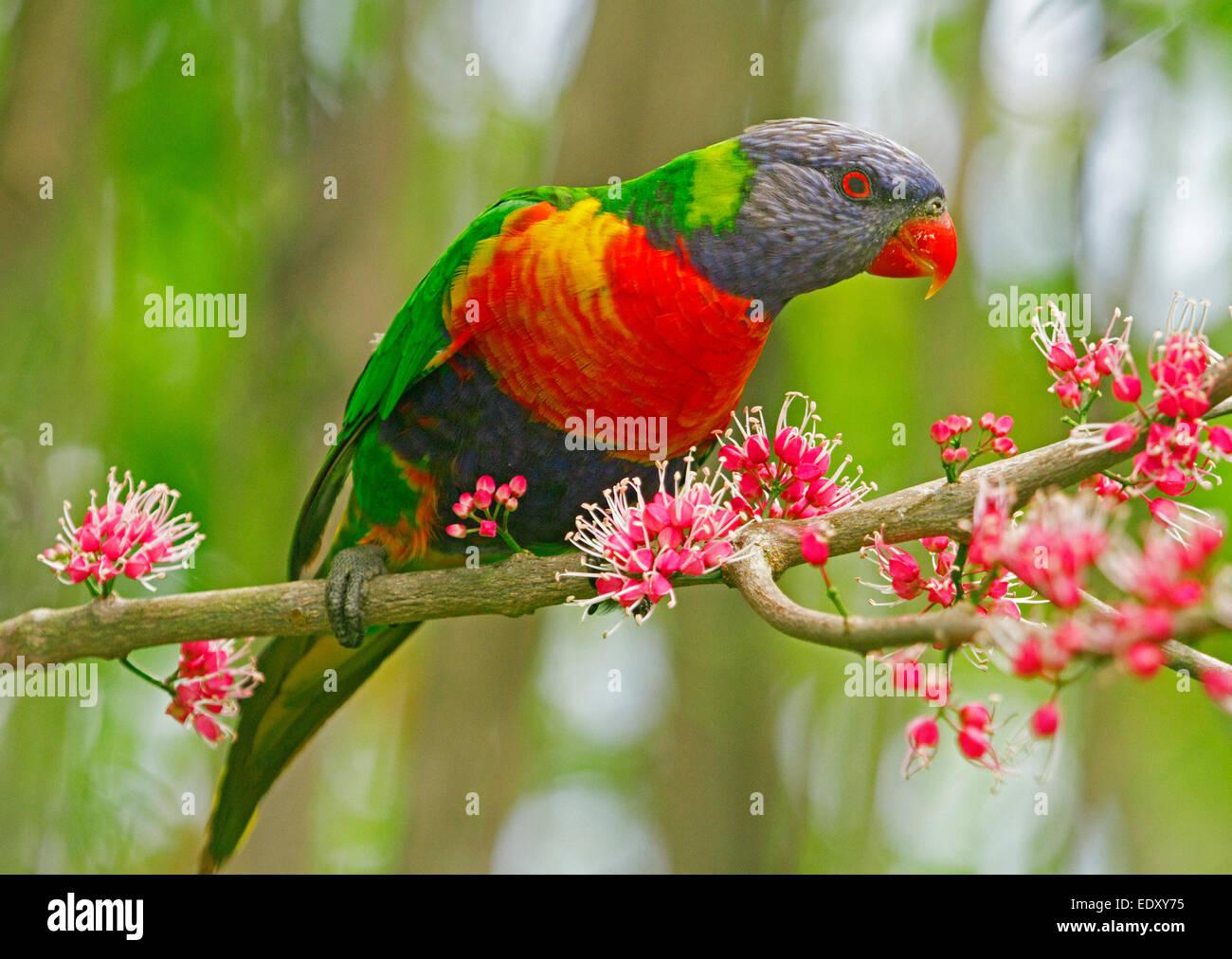 Vivacemente colorato rainbow lorikeet, pappagallo australiano nel selvaggio tra grappoli di fiori di colore rosa Immagini Stock