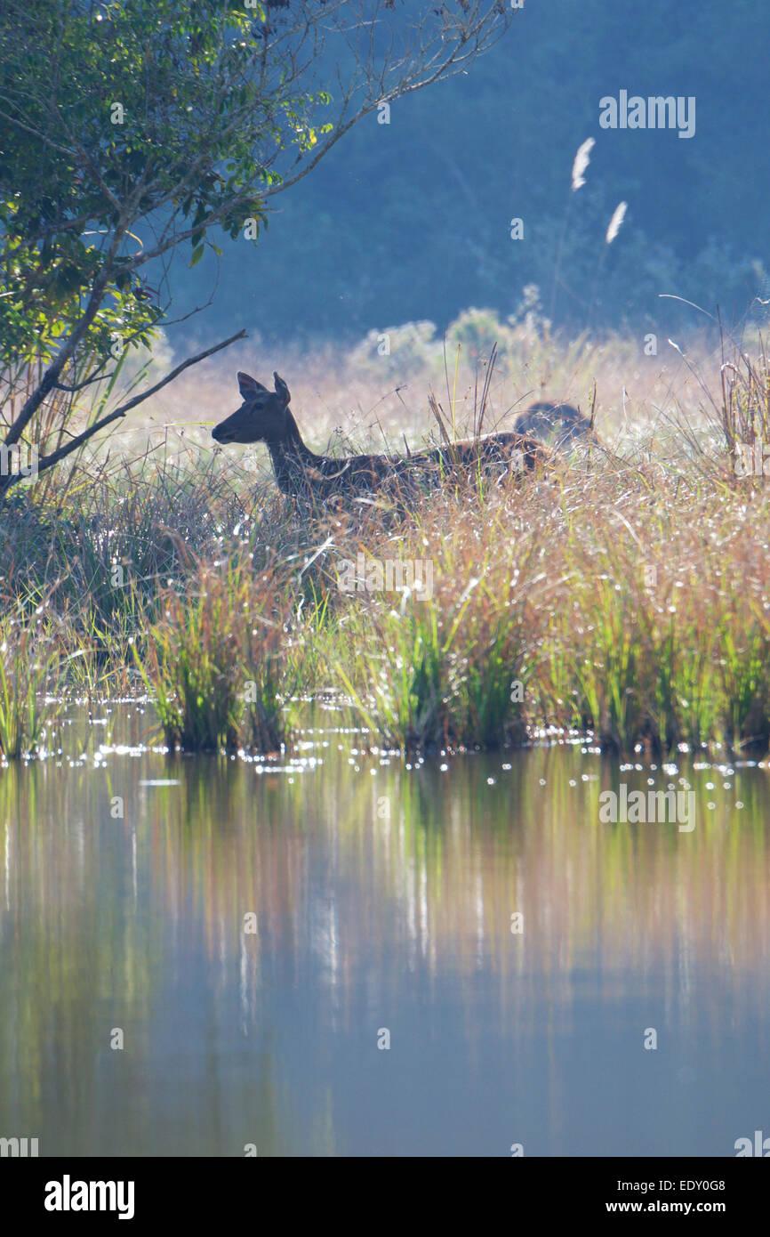 Rusa unicolor, sambar cervi, in Phu Khieo Wildlife Sanctuary, Thailandia. Immagini Stock