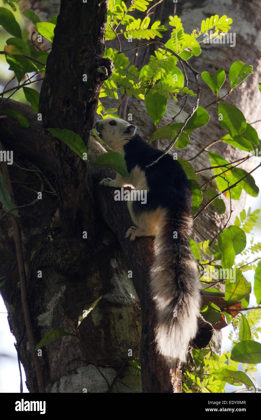 La variabile scoiattolo (Callosciurus finlaysoni) o Finlayson's scoiattolo è nativa per la Birmania, Thailandia, Immagini Stock