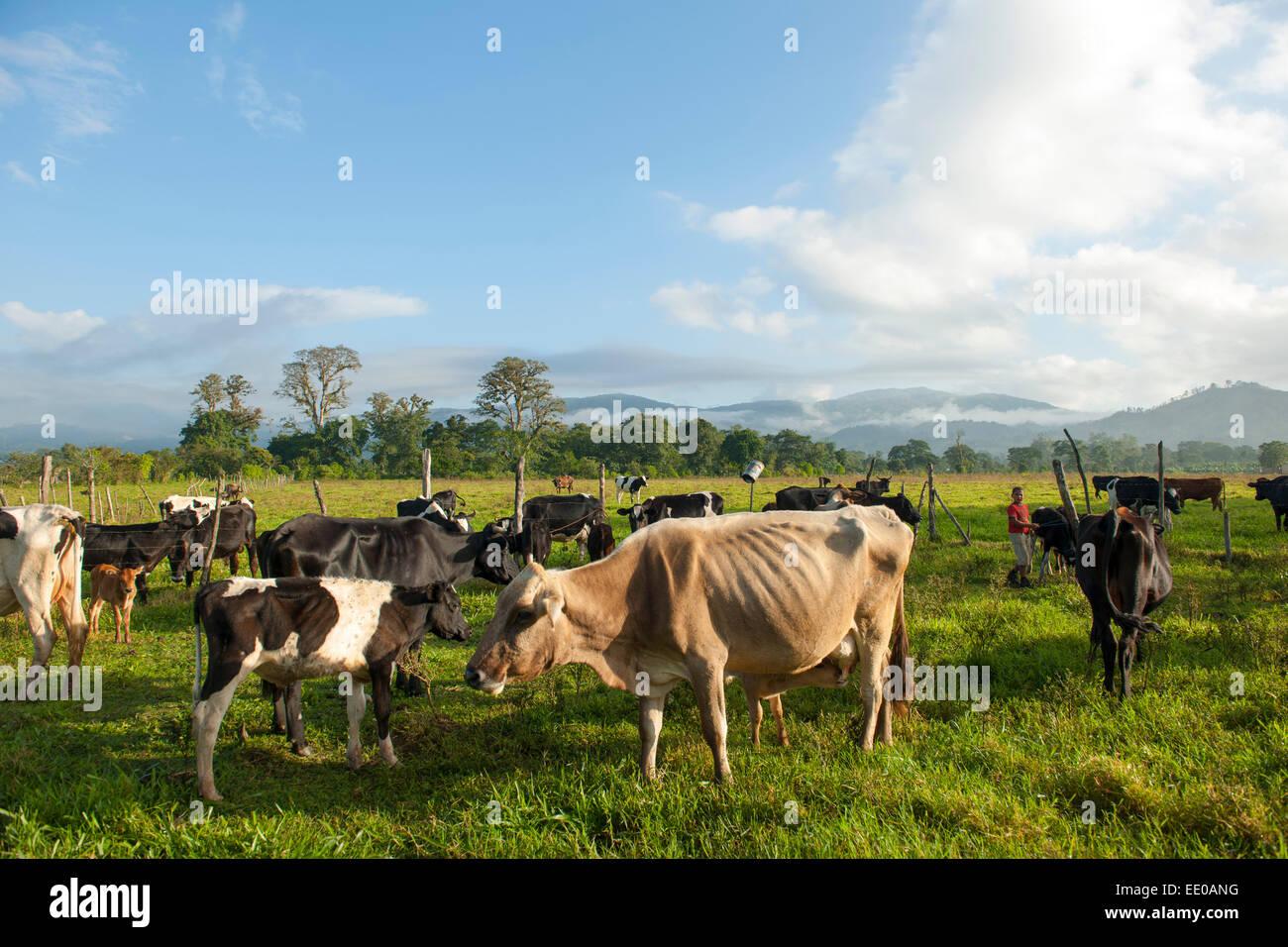 Dominikanische Republik, Südwesten, Kühe auf der Weide bei Rancho Arriba östlich von San Jose de Immagini Stock