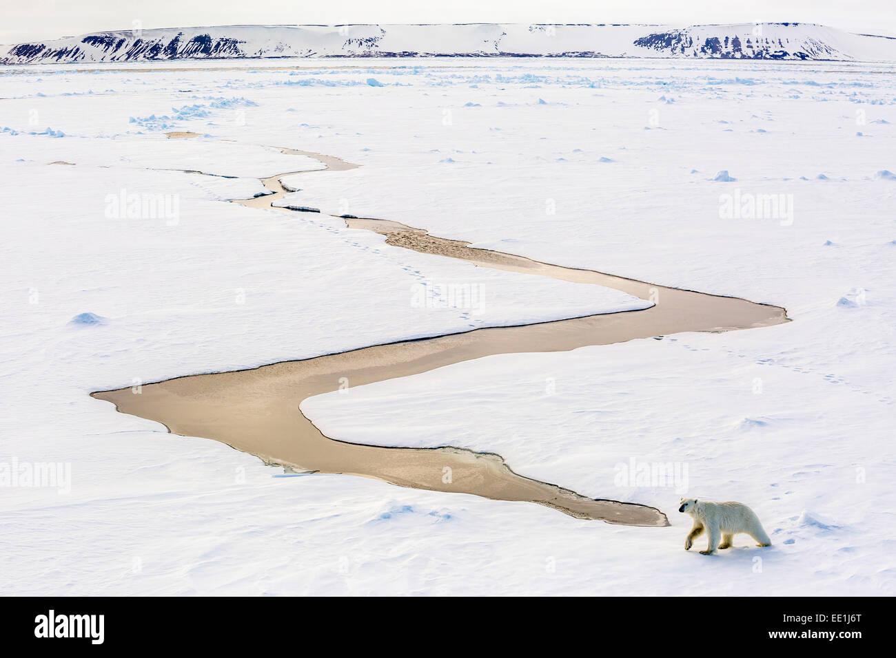 Adulto di orso polare (Ursus maritimus) sul primo anno mare di ghiaccio in stretto di Olga, vicino Edgeoya, Svalbard Immagini Stock