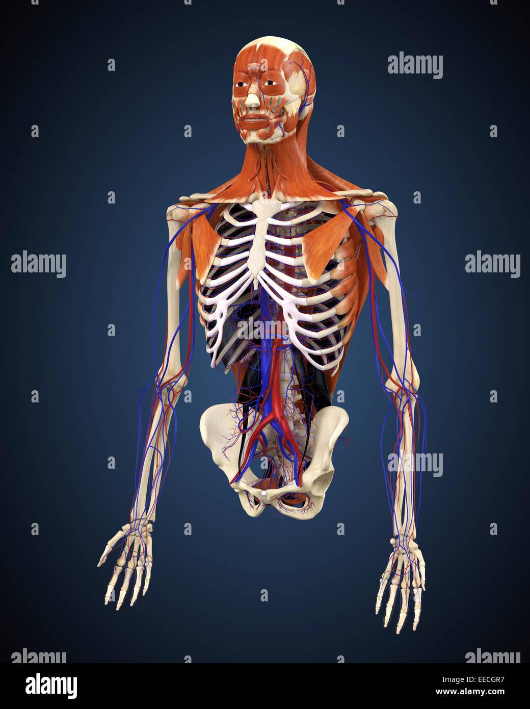 Umano corpo superiore che mostra le ossa, i muscoli e il sistema circolatorio. Immagini Stock