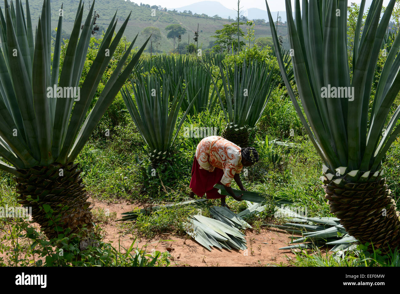 TANZANIA, Tanga, Korogwe, Sisal plantation in Kwalukonge, salariato agricolo raccolto sisal foglie che vengono utilizzati Immagini Stock