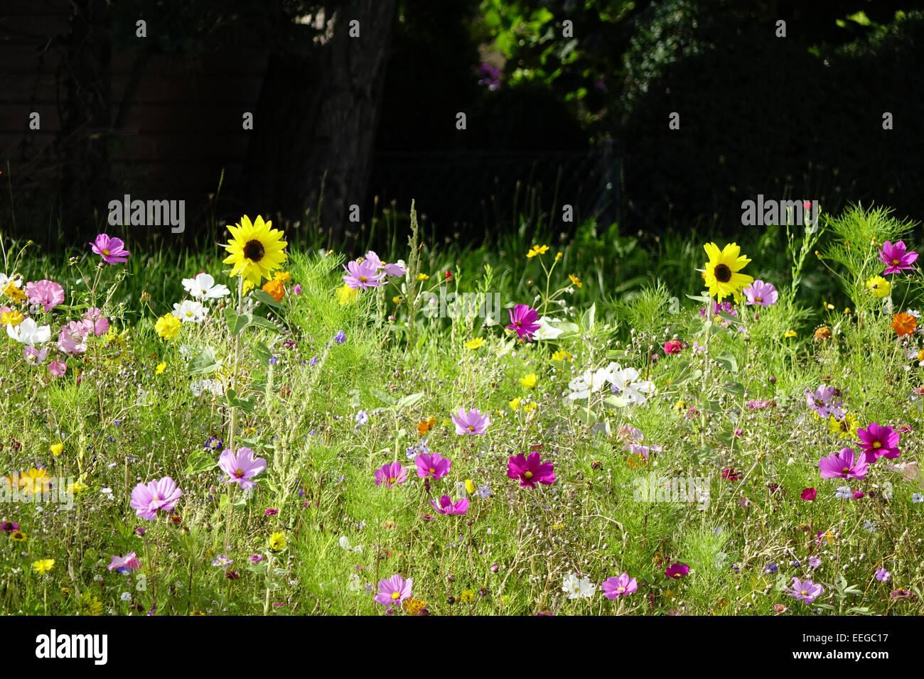Bunte Blumenwiese im Sommer, fiori colorati in prato in estate, esterno, millefiori, fiori selvatici, prati, prati, Immagini Stock