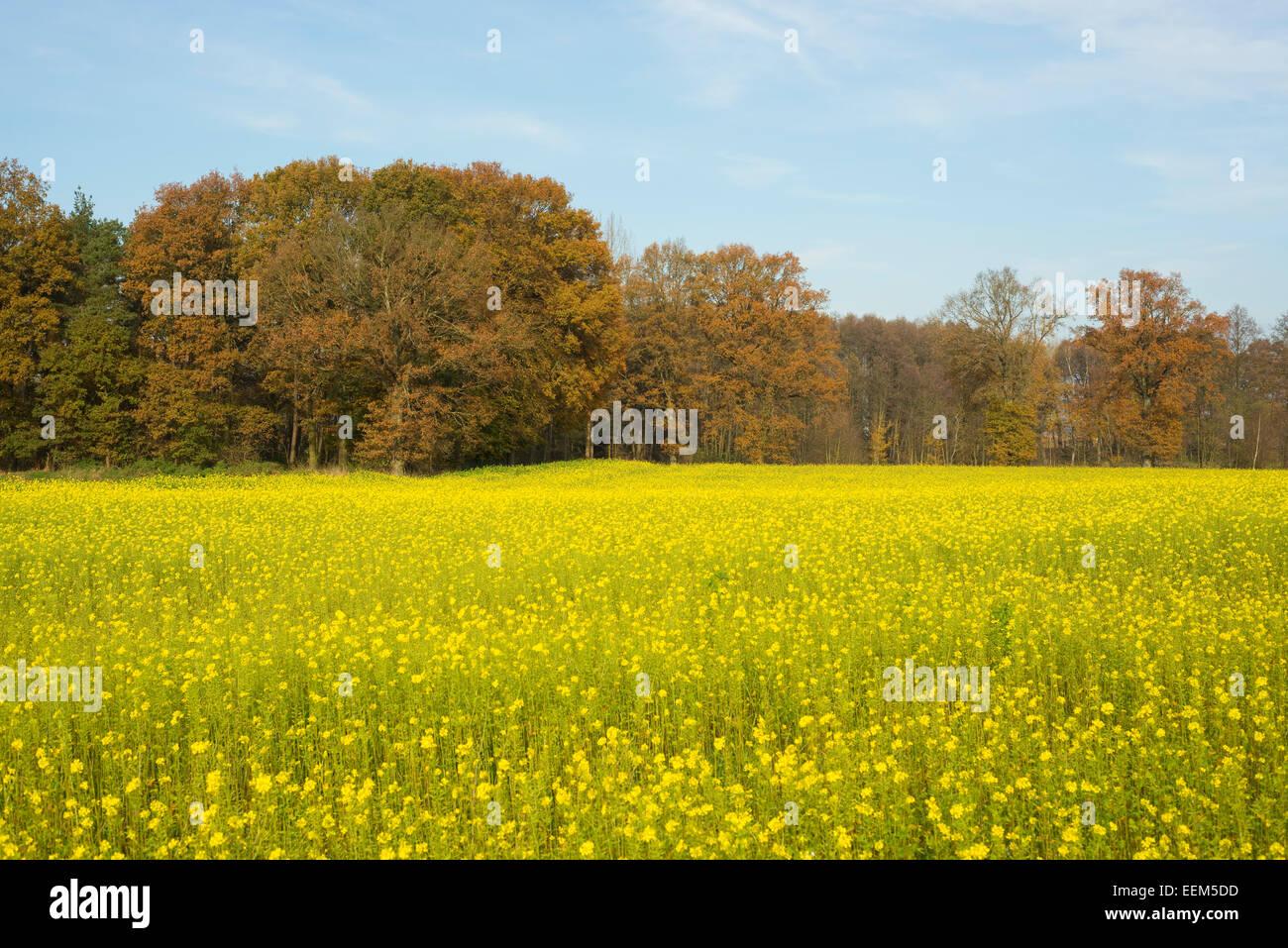 La senape bianca (Sinapis alba), giallo campo di fioritura in autunno, Bassa Sassonia, Germania Immagini Stock