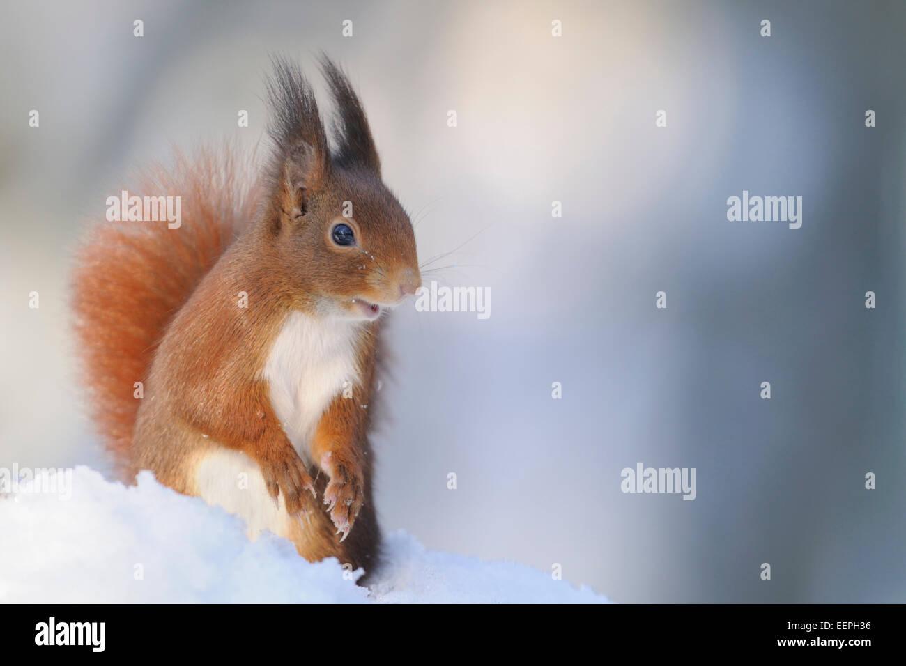 Eurasian scoiattolo rosso, inverno, Germania Immagini Stock