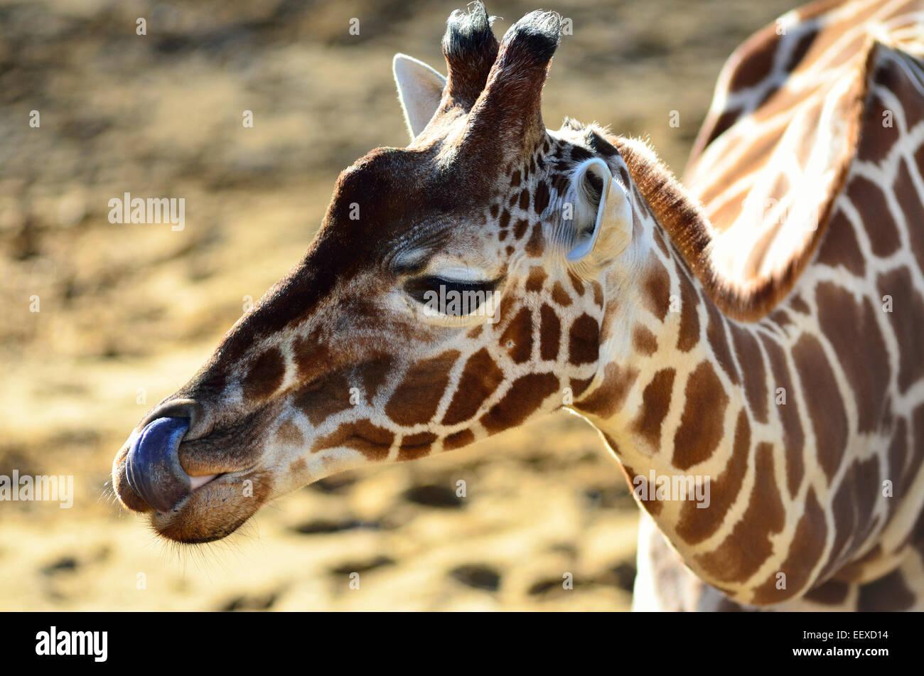 La giraffa leccare il suo naso con esso;s lungo la linguetta (solo uso editoriale) Immagini Stock
