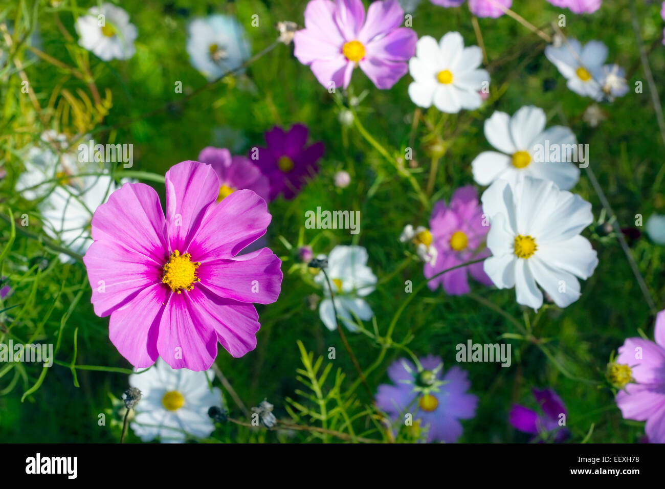 Cosmos daisies immagini cosmos daisies fotos stock alamy