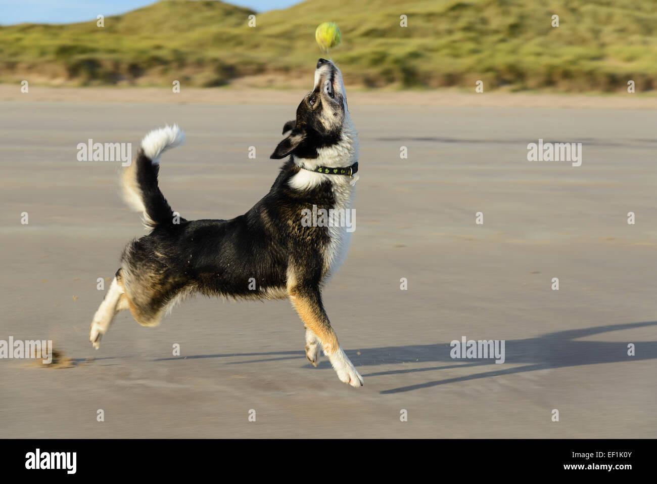 Border Collie cane con palla da tennis sulla spiaggia Seahouses, Northumberland, Inghilterra Immagini Stock