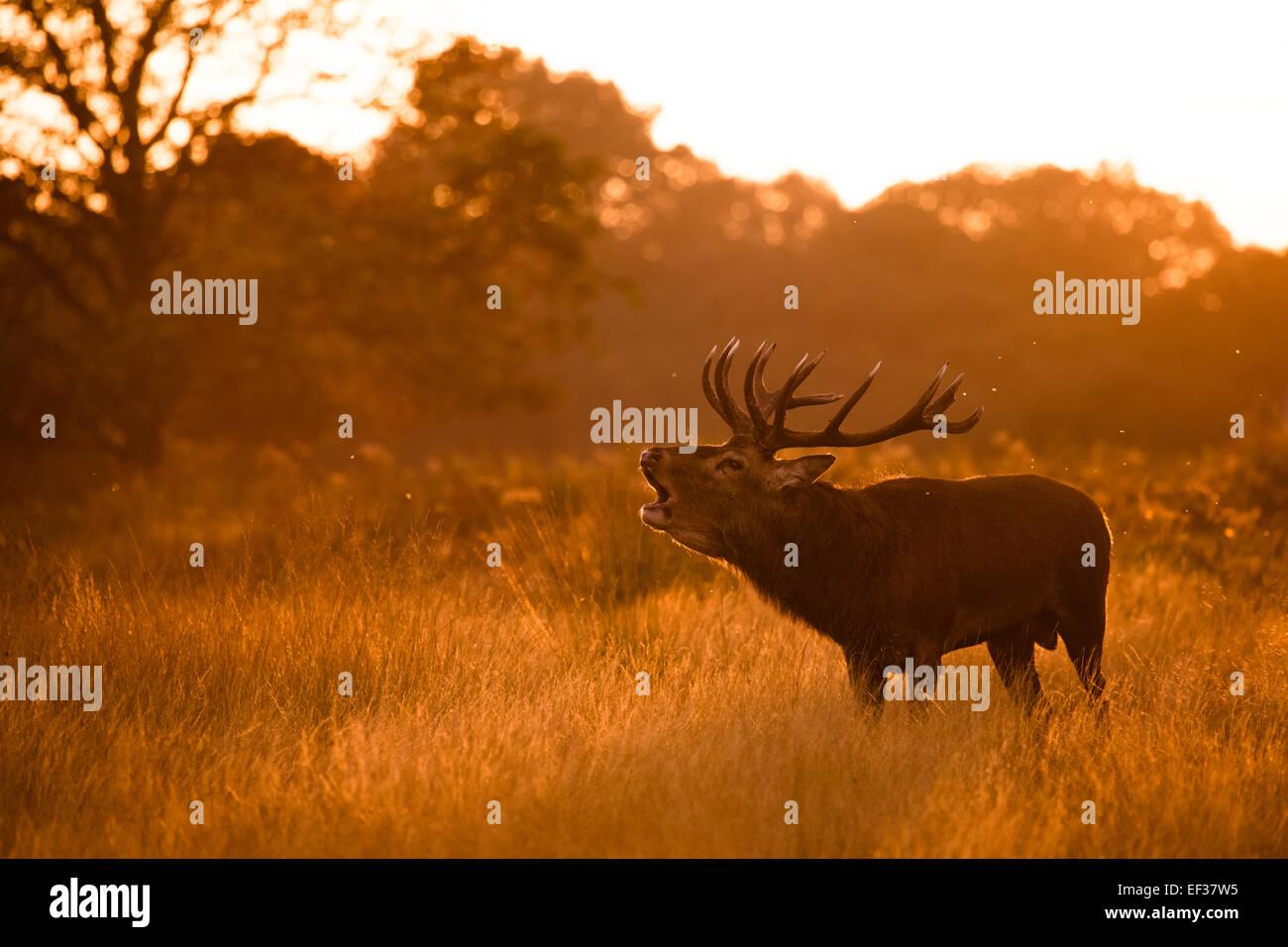 Muggito Red Deer stag. Richmond Park, London, Regno Unito Immagini Stock