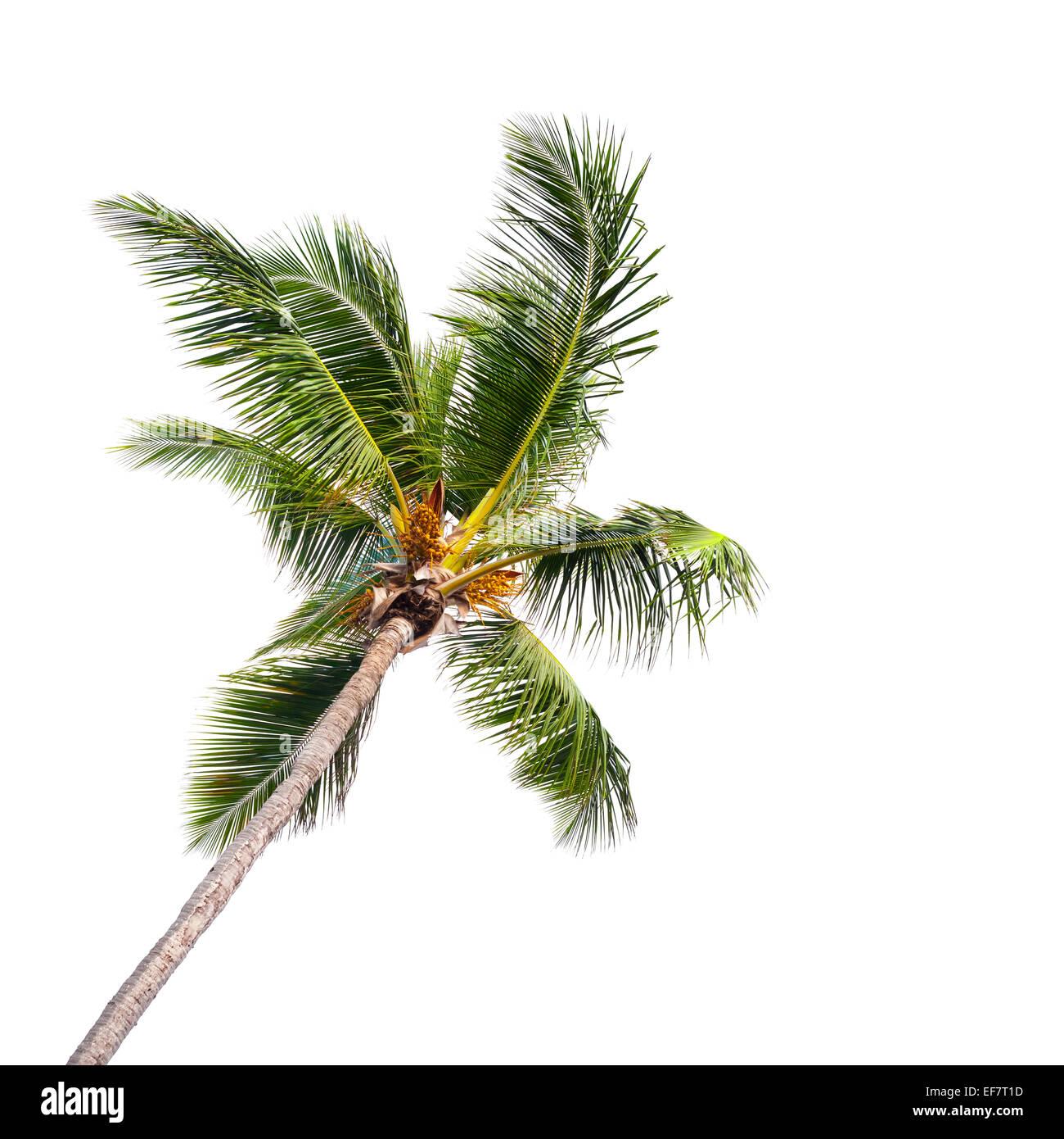 Unico coconut Palm tree isolati su sfondo bianco Immagini Stock