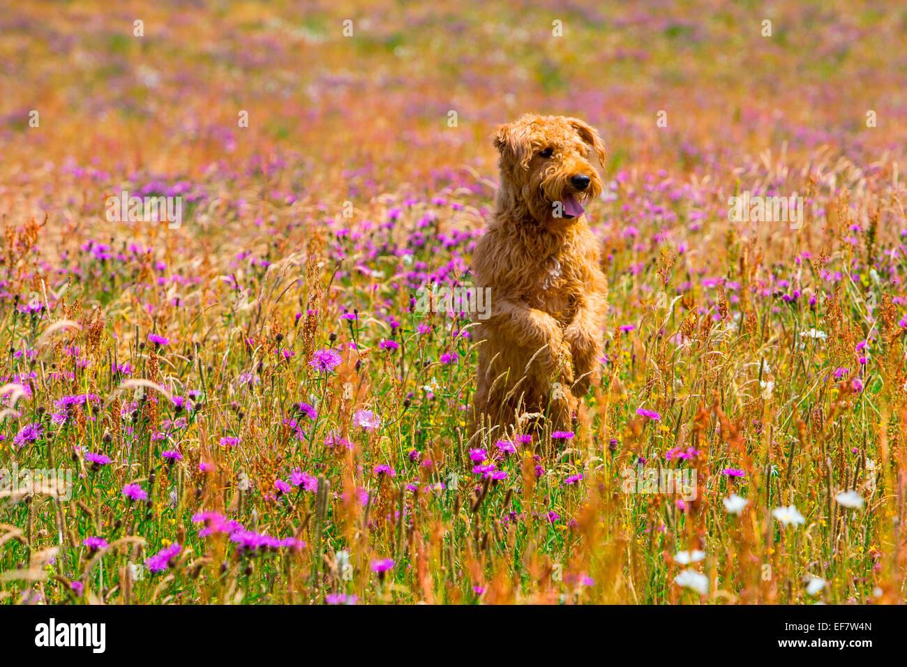 Terrier cane in piedi sulle zampe posteriori nel prato di fiori selvaggi Immagini Stock