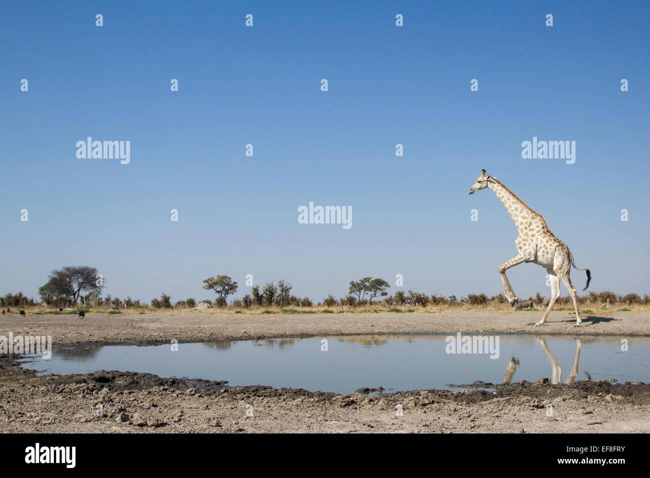 Africa, Botswana Chobe National Park, la giraffa (Giraffa camelopardalis) salta lontano dal bordo di Marabou Pan Immagini Stock