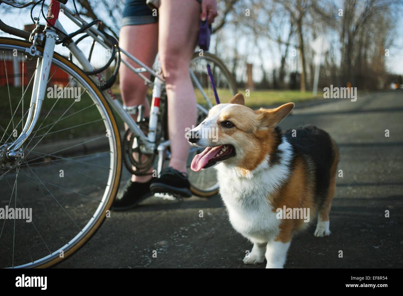 Pembroke Welsh Corgi in piedi dal lato della giovane donna in bicicletta Immagini Stock