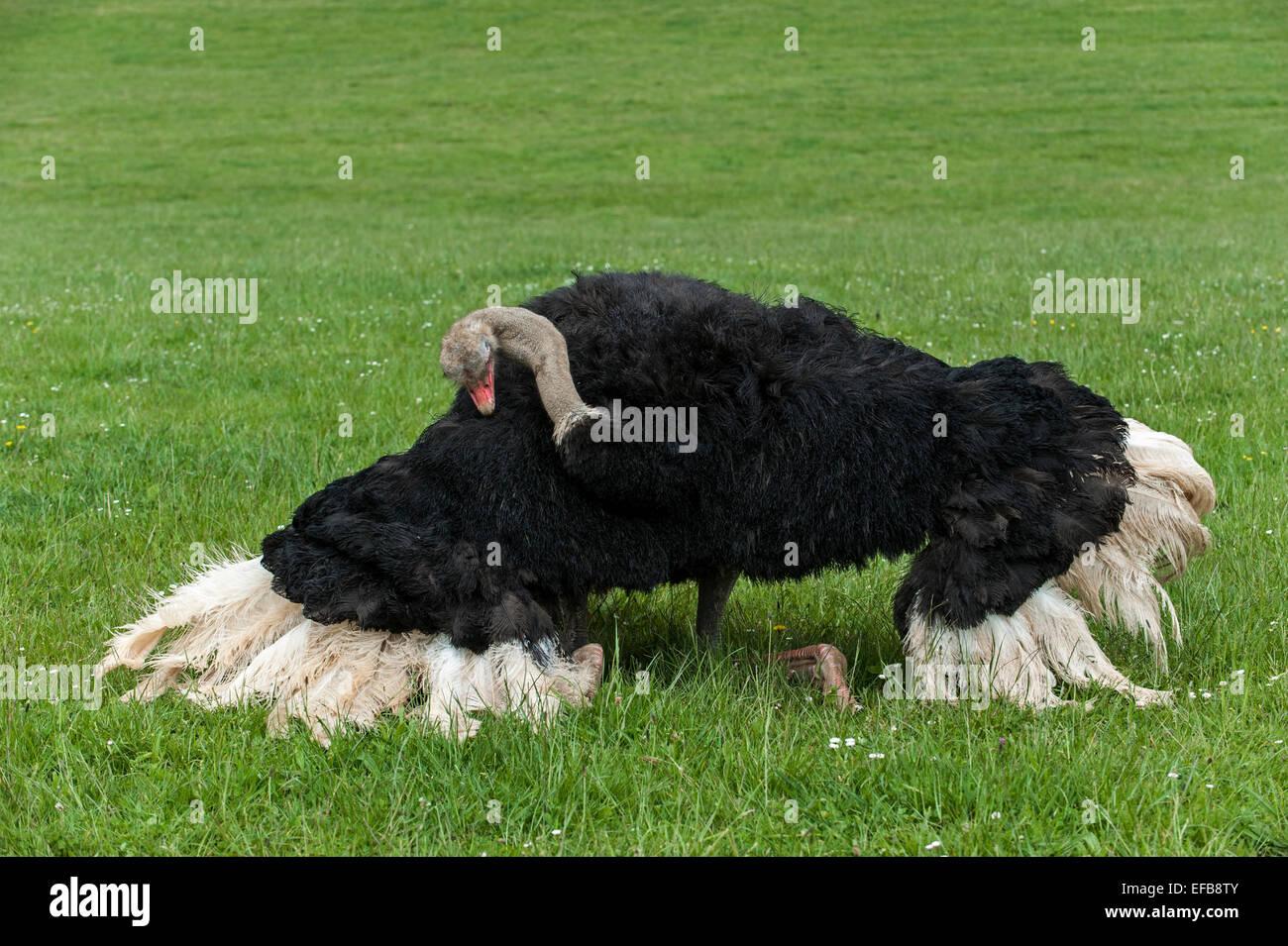 Comune (struzzo Struthio camelus) maschio eseguendo accoppiamento come danza di corteggiamento Immagini Stock
