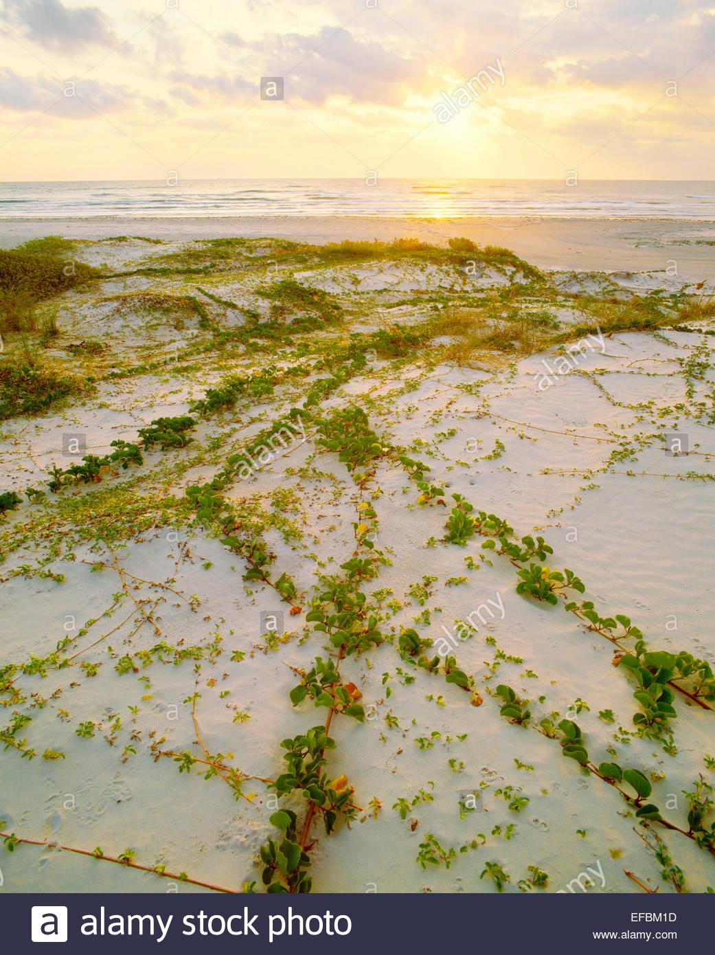 "Ferrovia vite [lpomoea pes-caprae var. emarginata] e ""Golfo del Messico spiaggia a sunrise. Padre Island National Immagini Stock"