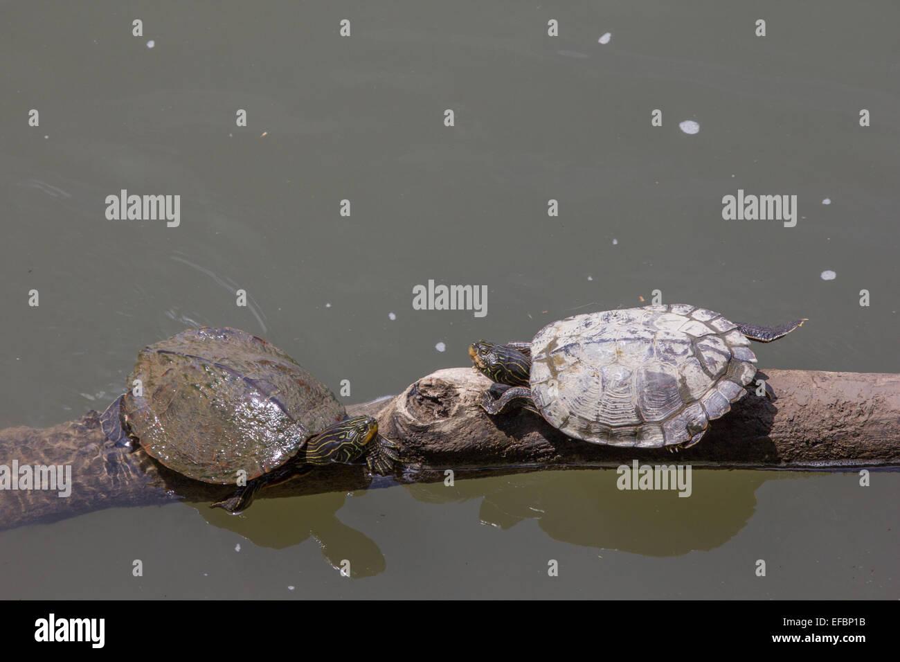 Una coppia di tartarughe Mappa crogiolarsi su un bastone nel fiume Juniata in Pennsylvania. Immagini Stock