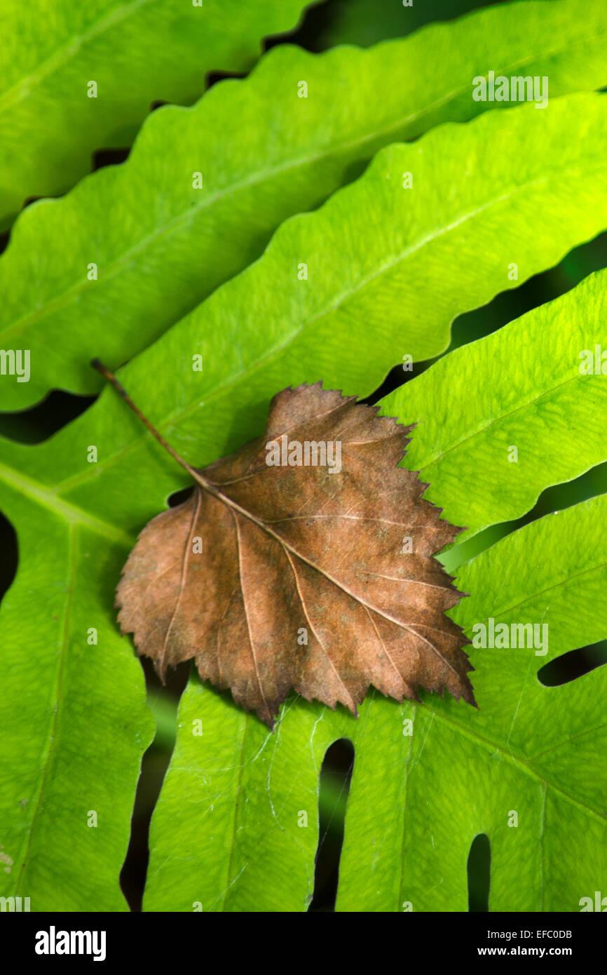 Nuovo verde foglia di felce con il vecchio decadendo foglie marrone in appoggio sulla parte superiore. Immagini Stock
