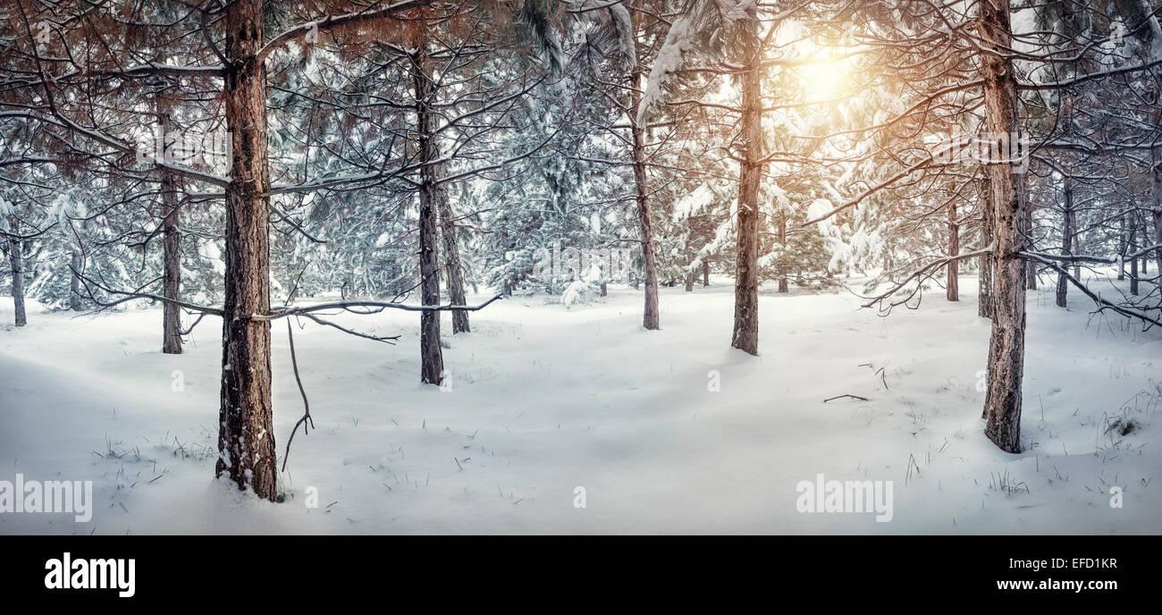 Inverno nevoso panorama della foresta con Sun Immagini Stock