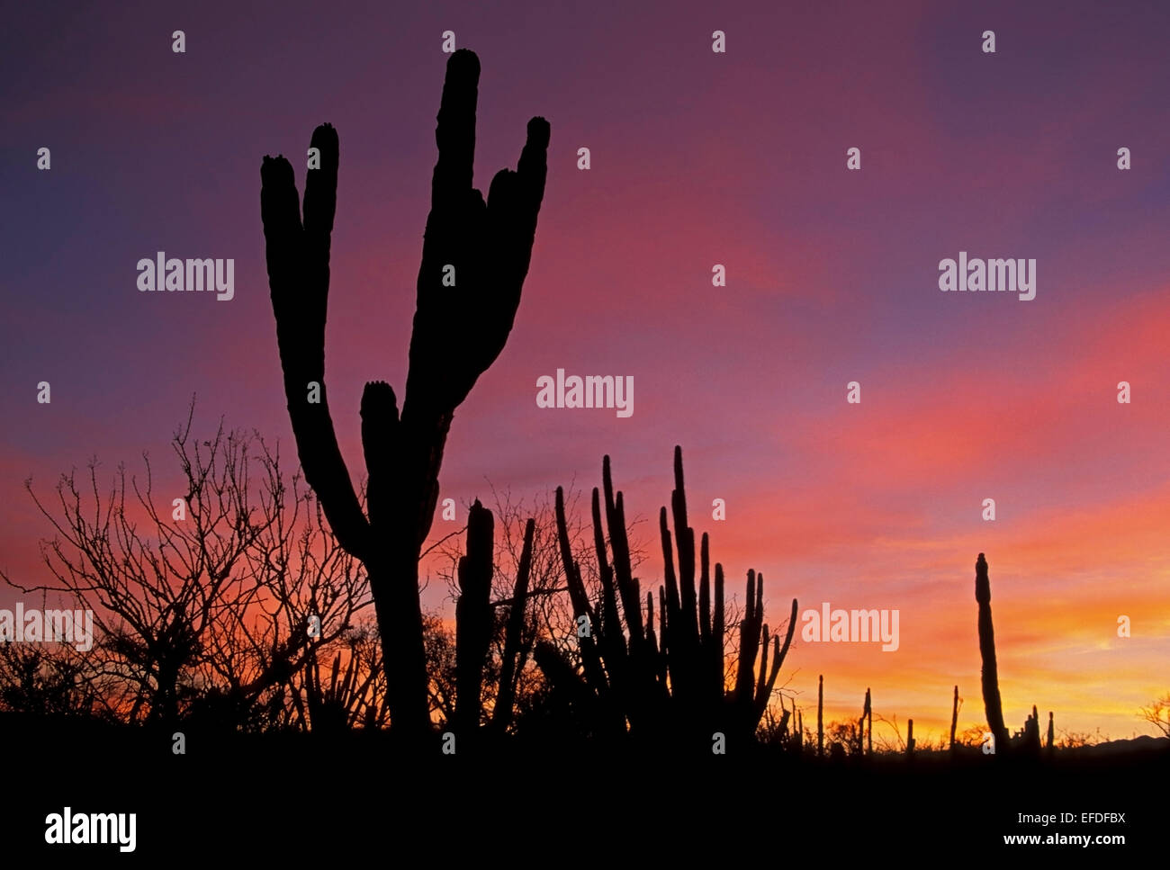 Stagliano cactus e rosa orange sky, Todos Santos, Baja California Sur, Messico Immagini Stock
